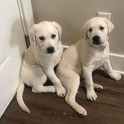 gute und hochwertige Labrador Retriever
