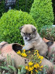 POMCHI Chihuahua Rüde Welpe