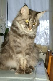 Maine Coon Lady