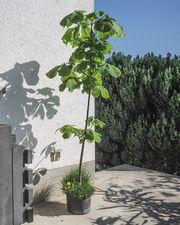 Kastanienbaum Rosskastanie 160 cm Baum