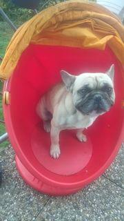 verkaufe französische bulldoge
