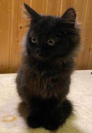 Langhaarige Kitten Katzenbabys Kätzchen
