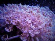 Meerwasser Korallenableger- Goniopora pandoraensis mit