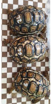 Pantherschildkröten Landschildkröte
