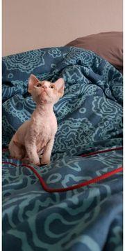 Devon Rex Kitten zur Abgabe