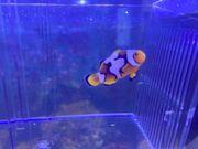 Anemonenfische Ocellaris Snowflaks