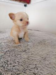 Mini Chihuahua Welpe langhaar