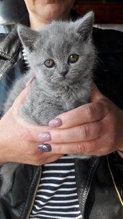 Kartäuser Kitten Katzen Kater Katzenkinder
