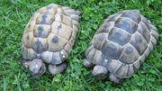 2 maurische Landschildkröten - männlich - adult
