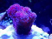 Meerwasser Verschiedene Korallen Ableger LPS