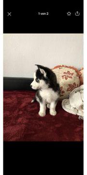 Husky Siberian Bichon