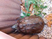 3 Wasserschildkröten