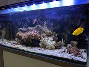 Meerwasserfische Garnele Seeigel Anemonenfische Abzugeben
