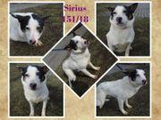 Sirius noch etwas schüchtern braucht