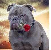 Old English Bulldog Deckrüde lilac