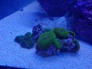 Meerwasser Scheibenanemonen
