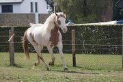 Paint horse Hengst Wallach