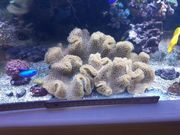 Meerwasser Pilzlederkoralle Elegance