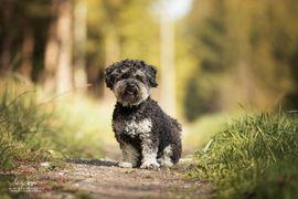Bolonka-Zwetna-Deckrüde in black tan deckt: Kleinanzeigen aus Buchloe - Rubrik Hunde