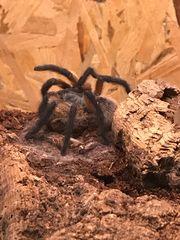Vogelspinnen neu eingetroffen