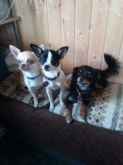 Chihuahua Yorkshiremix Welpen