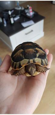 Maurische Schildkröten 2018