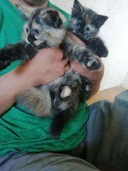 Erstaunliche Ragdoll-Kätzchen sind bereit für