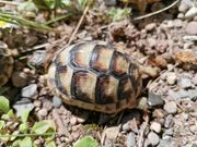 Breitrandschildkröten 1 Jahr alt