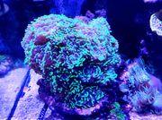 Euphyllia LPS Koralle Meerwasser
