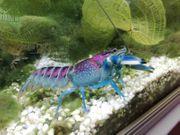 Krebs Cherax Pulcher blau rosa