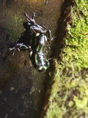 Ranitomeya Sirensis Contamana