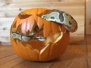 Königspython Python Regius mit Terrarium