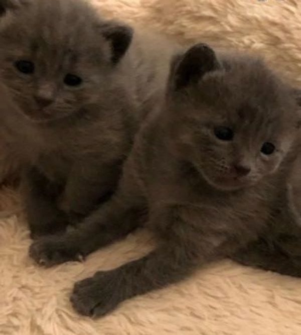 russische blaue Kätzchen zur Adoption