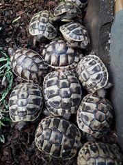 Griechische Landschildkröten und Breitrandschildkröten