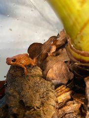 Oophaga pumilio bribri Frosch Männchen