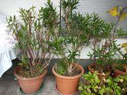 Oleanderstöcke