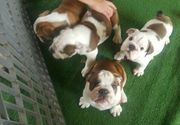 Gesunde englische Bulldoggen
