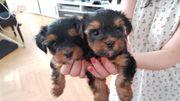 Yorkshire Terrier mini abholbereit