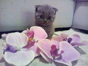 Sckottisch Fold Babykatze