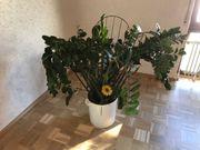Große Zimmerpflanze Glücksfeder Zamie Zamioculcas