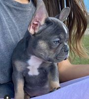 4 Blue French Bulldog Welpen
