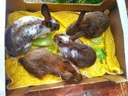 Rex Mix Kaninchen
