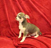 Wunderhübsche kleine Chihuahua Welpe bluetan