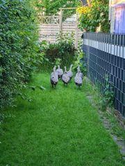 Hühnergänse abzugeben