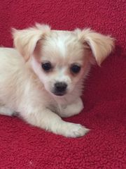Gelungene Chihuahua Mix Welpen