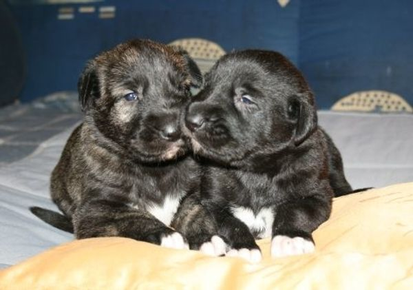Irish Wolfhoundwelpen VDH