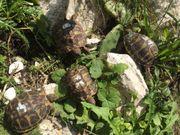 Griechische Landschildkröten Sardinien
