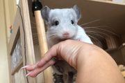 Chinchilla Silberschecken Böckchen 9 Monate