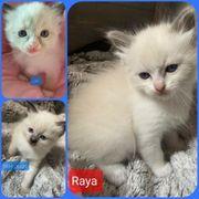 Heilige Birma Ragdoll Kitten geimpft