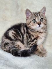 Zauberhafte BKH Tabby Kitten